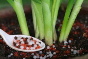 Чем подкормить лук после всходов и перед уборкой, чтобы он был крупный на протяжении всего сезона