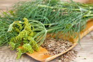 Как правильно посадить укроп под зиму в Подмосковье: выбираем подходящий сорт для открытого грунта и теплицы