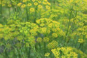 Почему на огороде не растет укроп, причины и решение проблемы
