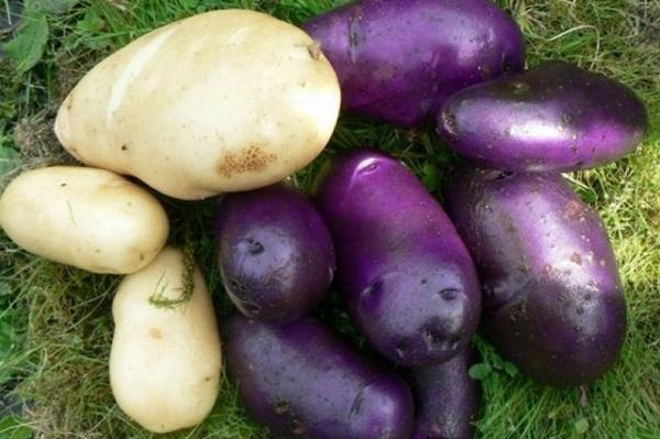 черный и белый картофель