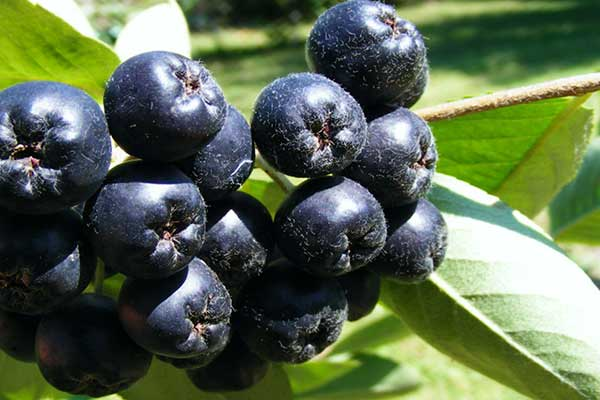 ветки черноплодной рябины