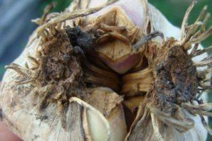 Болезни и вредители чеснока и борьба с ними, методы лечения и профилактика