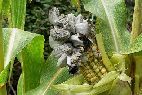 пузырчатая головня у кукурузы