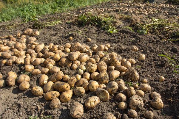 картофель на огороде