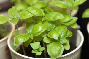 ТОП 10 советов, как правильно посадить и вырастить базилик из семян в домашних условиях на рассаду