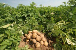 После каких предшественников можно сажать горох, правила севооборота и обработка почвы