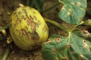 Чем обработать дыни от вредителей и заболеваний и можно ли употреблять зараженные плоды