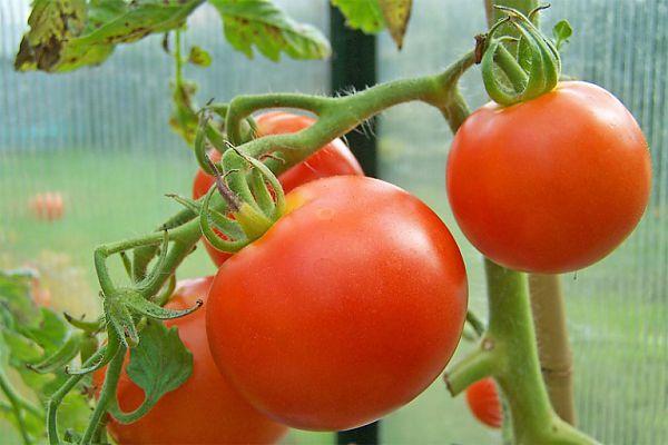 ветки помидор