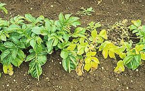 желтая ботва картофеля