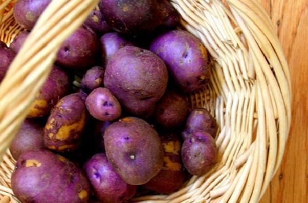 сорт «Фиолетовый викинг»