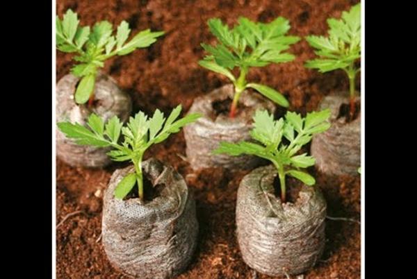 рассада томата в торфяных таблетках