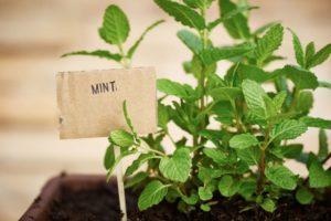 Описание ментоловой мяты, особенности посадки и ухода, сбор и хранение урожая
