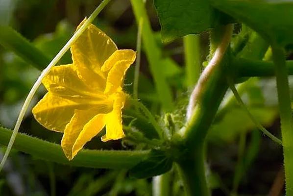 пустоцвет кабачка в открытом грунте