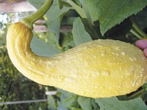 Почему кабачки растут неправильной формы, вырастают кривые, чего не хватает