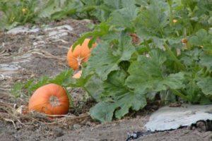 Как часто нужно поливать тыкву в открытом грунте в августе в жаркую погоду