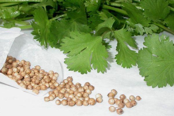 кинза и семена