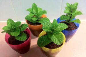 Как вырастить в домашних условиях мяту из семян в горшке на подоконнике зимой, правила ухода