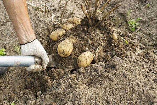 Выкапывание картофеля