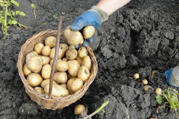 Корзина с картошкой