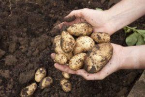 Когда можно выкапывать молодой картофель на еду после цветения, через какое время