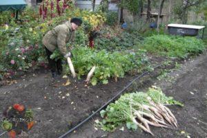 Сроки посадки в открытый грунт дайкона, уход и способы выращивания, после чего сажать