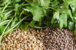 Как вырастить кориандр (кинзу) из семян зимой на подоконнике в квартире в домашних условиях