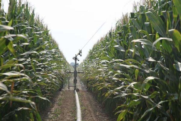 Выращиваниеукурузы
