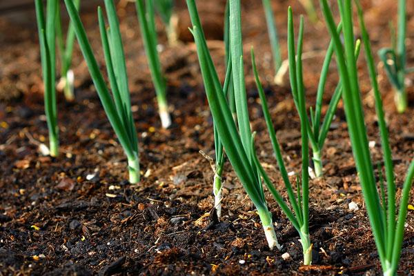 зеленый лук в открытом грунте