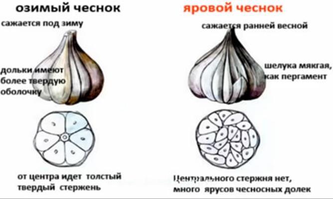 основные отличия озимного и ярового чеснока