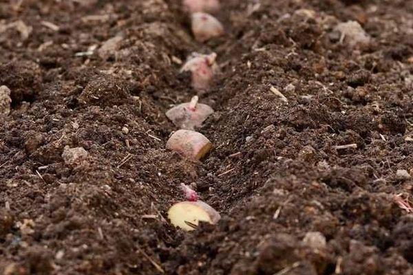 Картошка в грунте