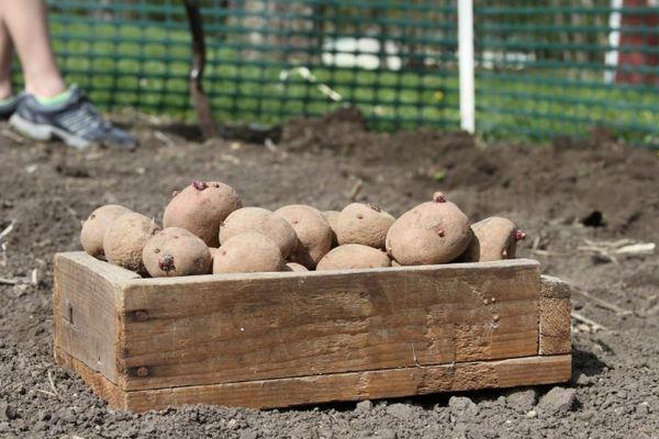 Ящик с картошкой