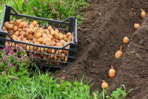 Как правильно подготовить посадочный материал и когда сажать картофель, чтобы получить богатый урожай