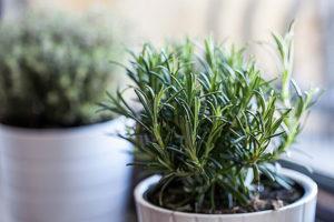 Как можно вырастить розмарин дома на подоконнике в горшке из семян и черенков