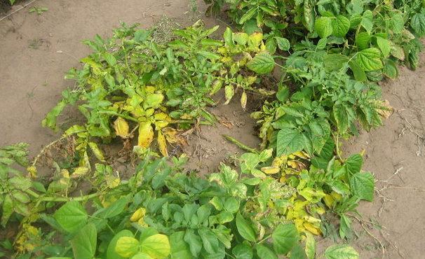 желтая ботва у картофеля в открытом грунте