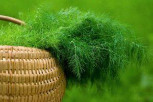 Описание лучших сортов укропа для открытого грунта и на зелень, как выглядит растение
