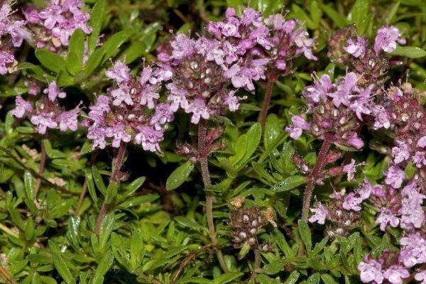 Тимьян цветки