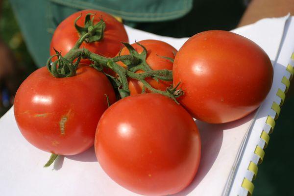 помидоры для консервирования