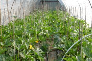 Тонкости ухода за кабачками в теплице, как формировать и выращивать, почему гниют