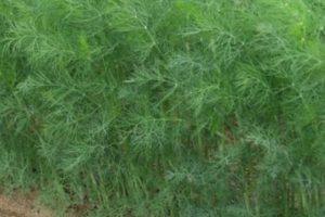 Основные правила выращивания и ухода за укропом: через сколько дней всходит, как растет и сроки созревания на зелень
