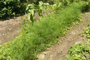Как правильно посадить укроп в открытый грунт и теплицу, секреты агротехники