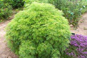 ТОП 10 правил выращивания укропного дерева, описание и виды, применение