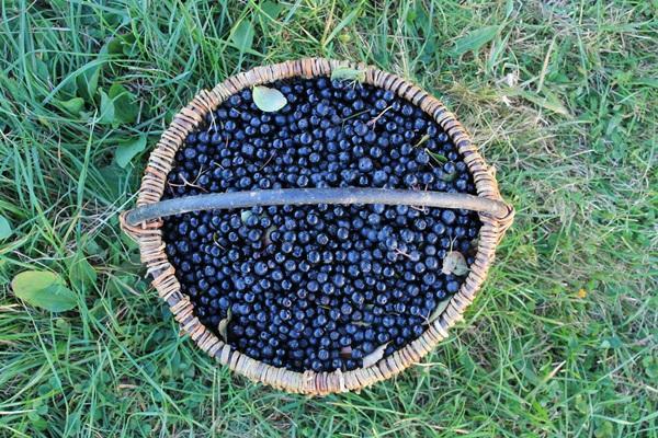 черноплодка в корзине