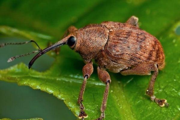 Свекольный жук