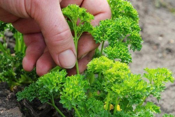ростки зелени