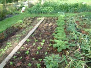 Что можно посадить после лука на следующий год, предшественники и севооборот