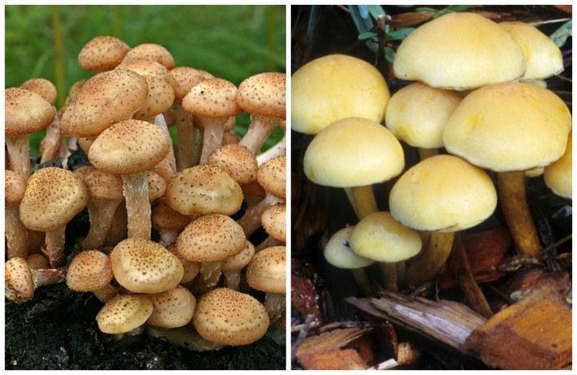грибы маслята