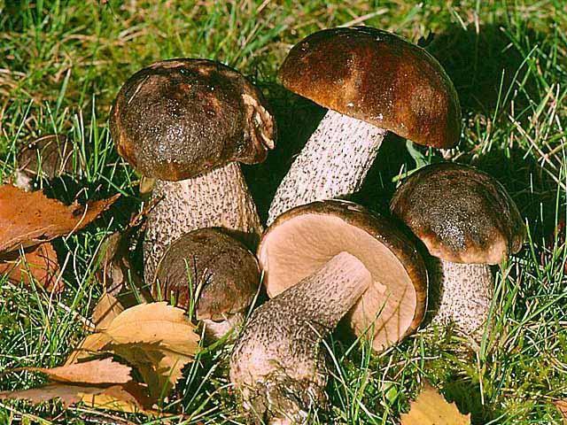 грибы свежие