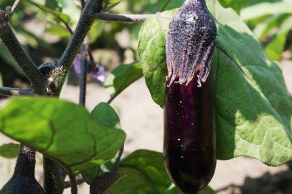 Плод баклажан