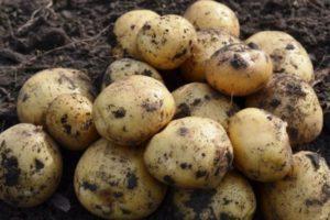 Почему плохо растет картофель на огороде, причины и что делать для богатого урожая