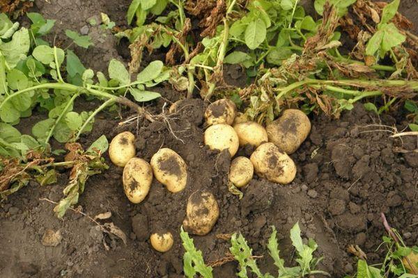 рост картофеля